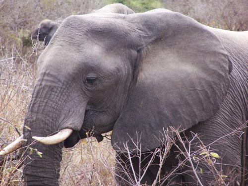 Kruger_Park (elefante)