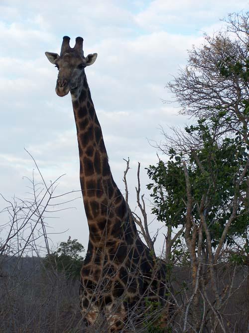 Kruger_Park (girafa)