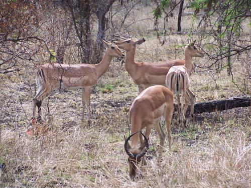Kruger_Park (impalas)