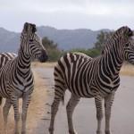 Kruger: Principiantes de safari