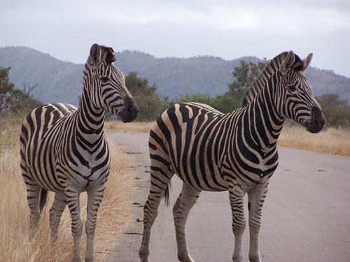 Kruger_Park (zebras)