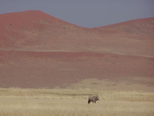 Orix en las praderas de Sesriem (Desierto Namib)