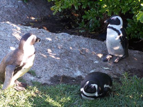 Pinguinos en Boulders