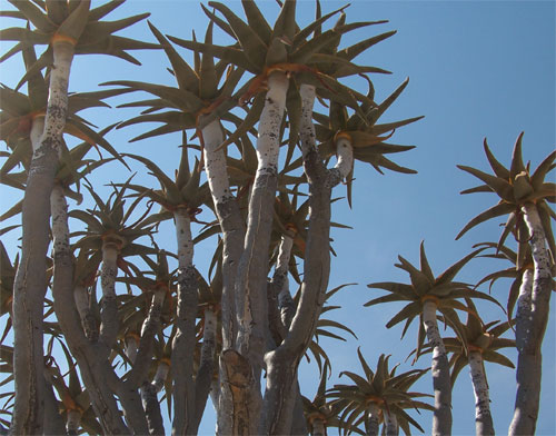 Arboles en Namib