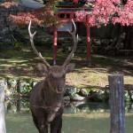 Bambis glotones en Nara