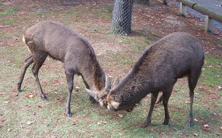 Momento cabreo entre ciervos