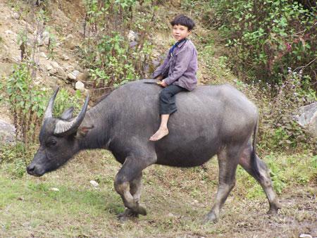 A lomos de un búfalo de agua