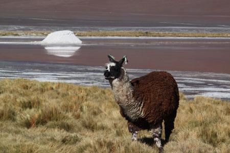 Llama del altiplano