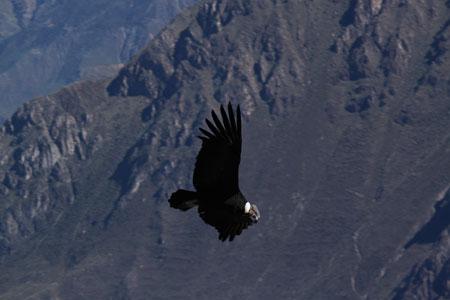 Condor volando sobre el Cañón