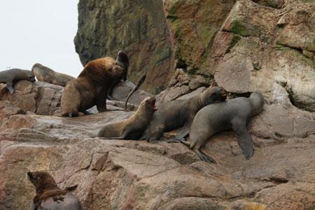 Nuestros amigos los lobos marinos