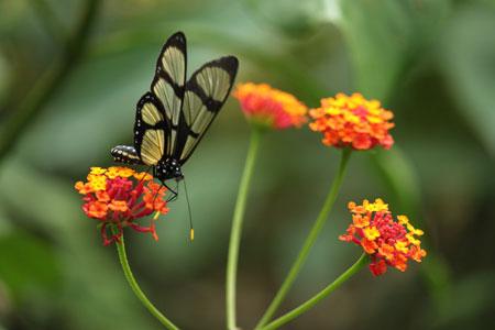 Mariposas por un día