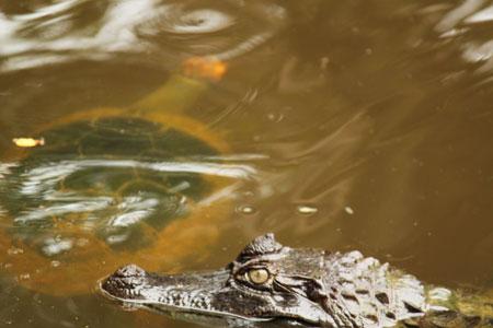 Idilio entre caiman y tortuga