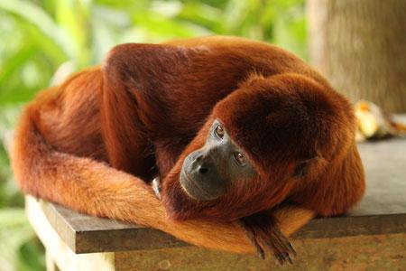 Mono aullador en 'momento siesta'
