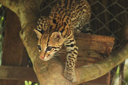 Ocelote oliendo a visitantes (Entre el jaguar y nosotros había una reja poco fotogénica)